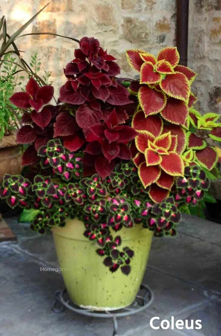 Best Resources For Coleus Plants Home Gardeners