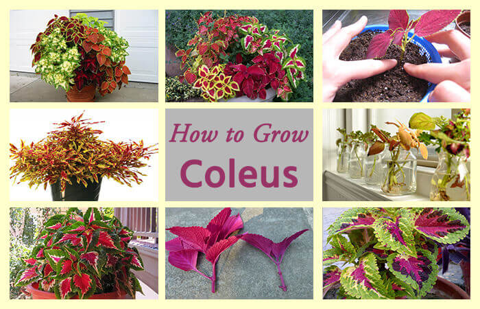 coleous-3 Variegated House Plants Dark Green And White on white shade plants, pink variegated spider plants, variegated euonymus plants, yellow and green plants,