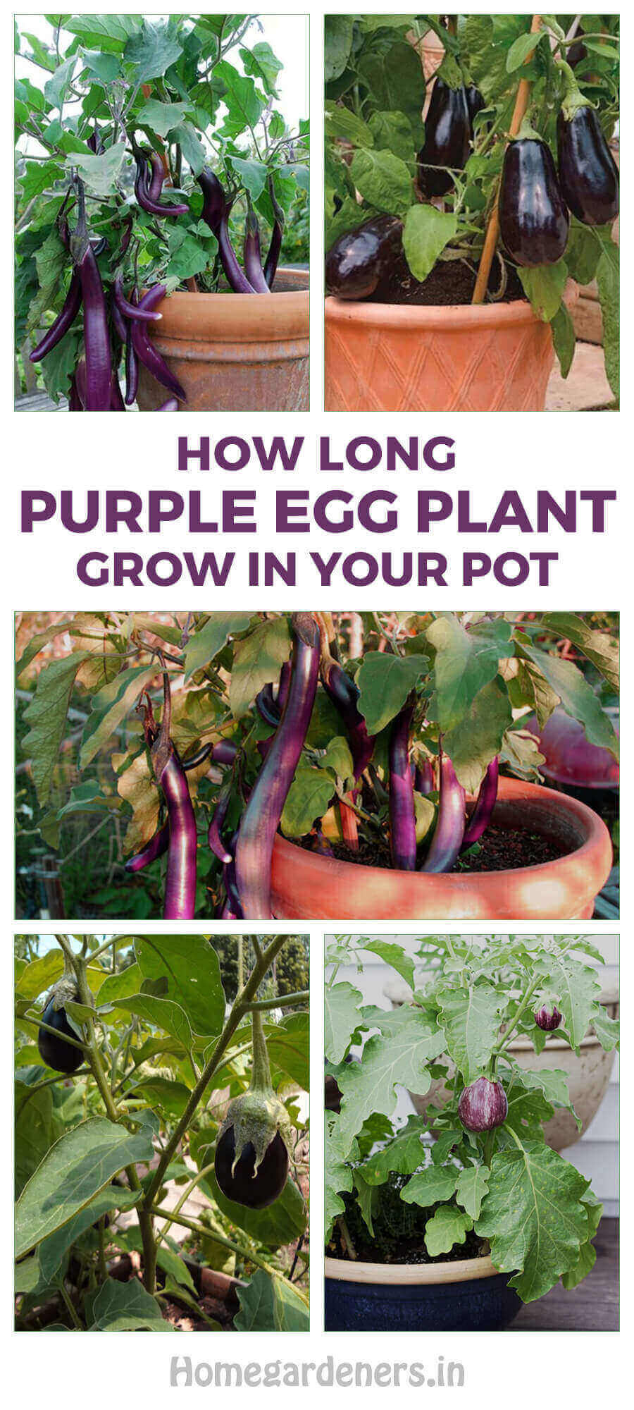 How Long Does Purple Eggplant Grow in Your Pot