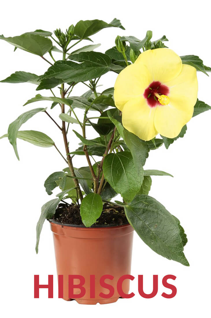 The Best Ways to Grow, Care and Utilize Hibiscus Plants
