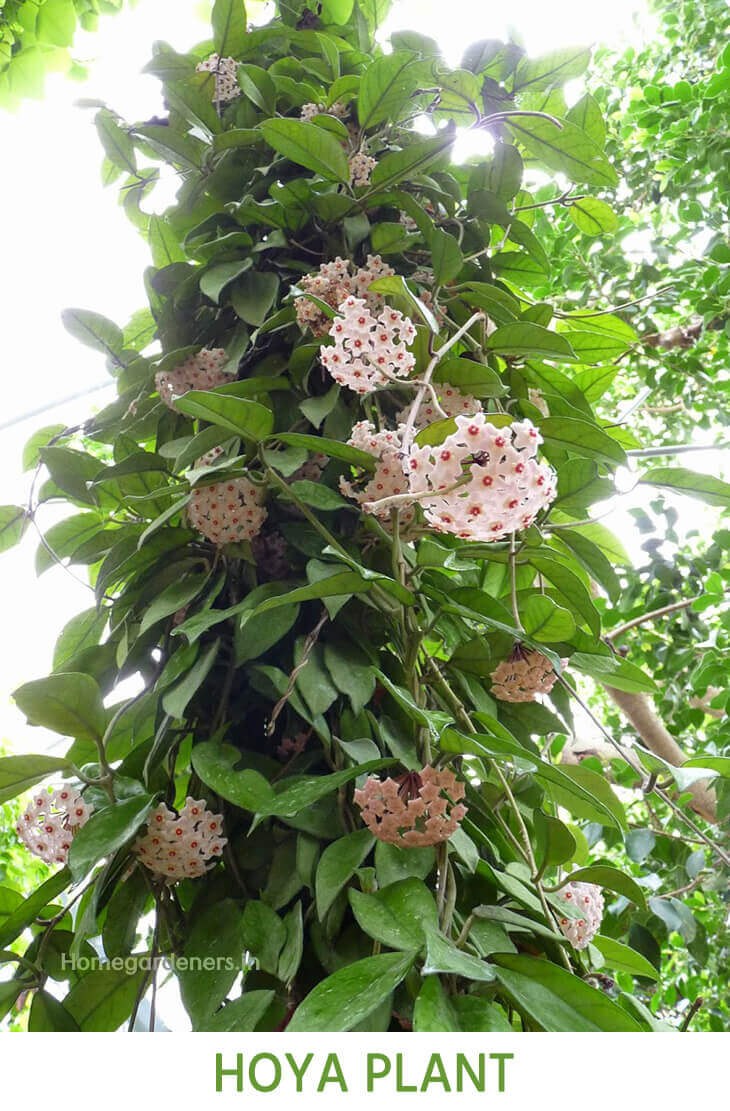 The Complete Guide for Beginners about Hoya plant
