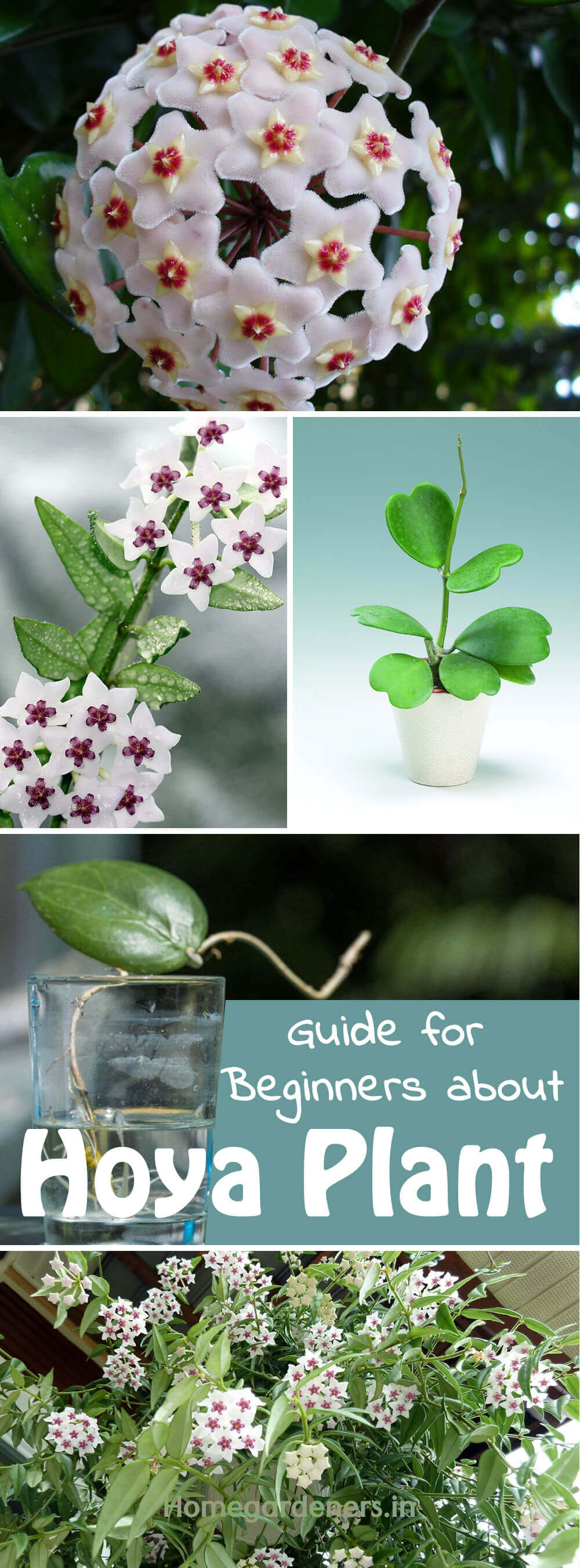 The Complete Guide For Beginners About Hoya Plant Home Gardeners