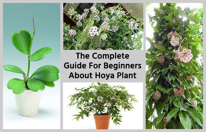 The complete guide for beginners about hoya plant home gardeners - Flowers planted may complete garden ...