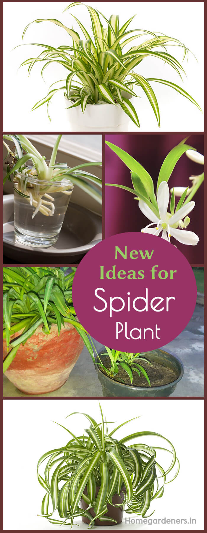 New Ideas for Spider Plants