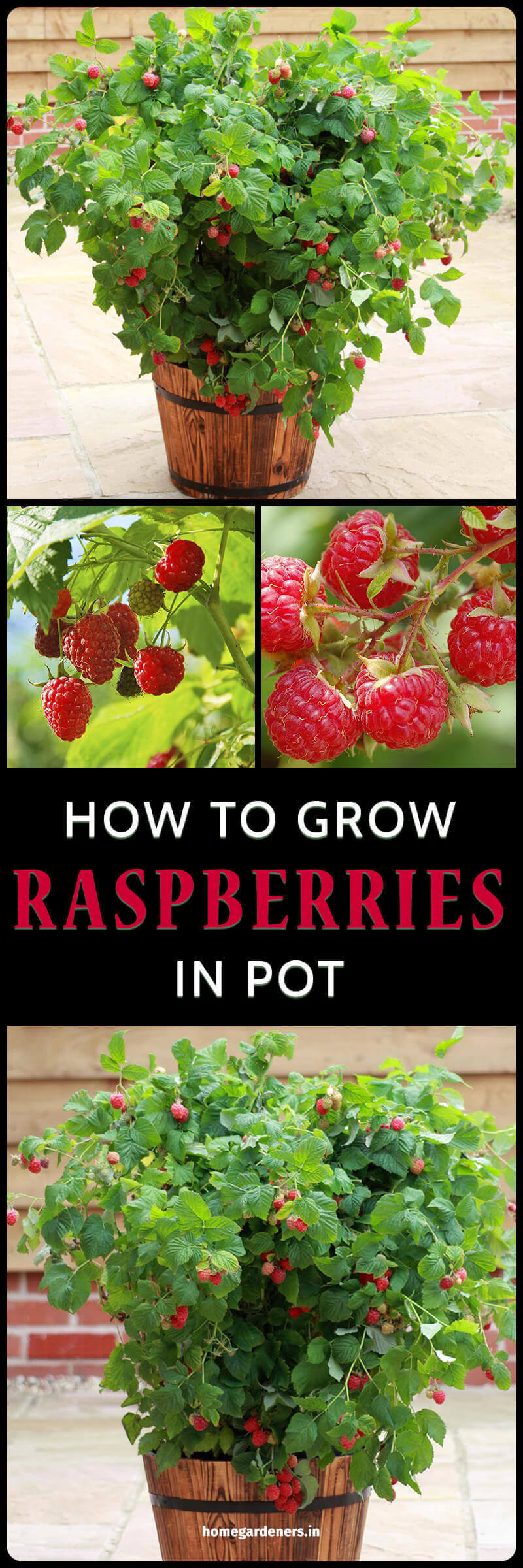 Why Do People Think Raspberry Plants are a Good Idea?