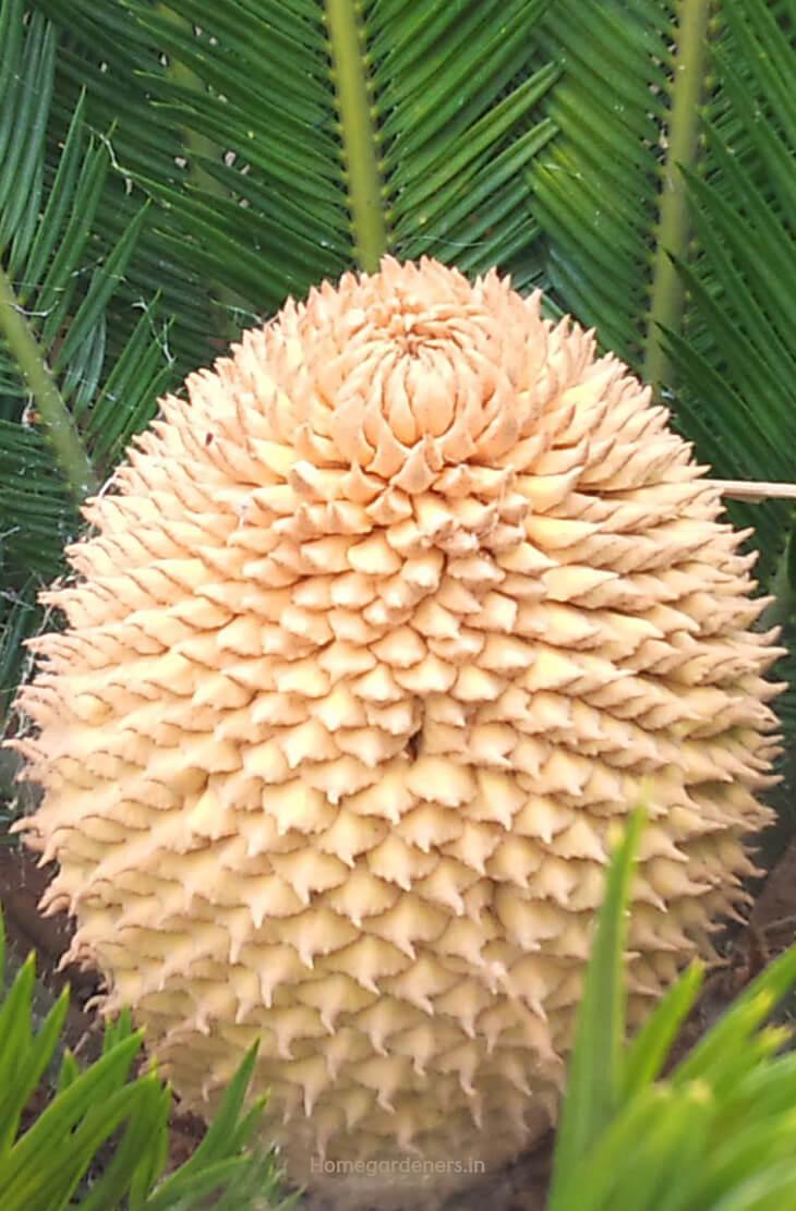 Easy way to Grow Heat Tolerance Sago Palms