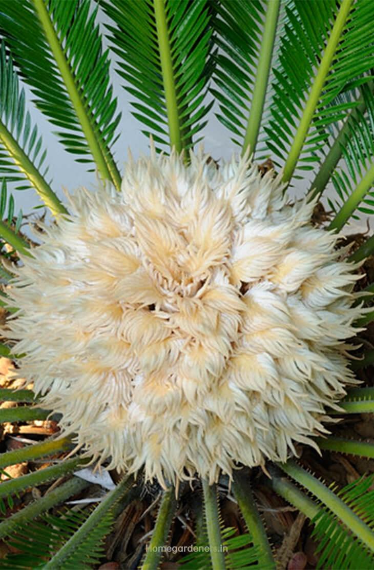 Heat Tolerance Sago Palms