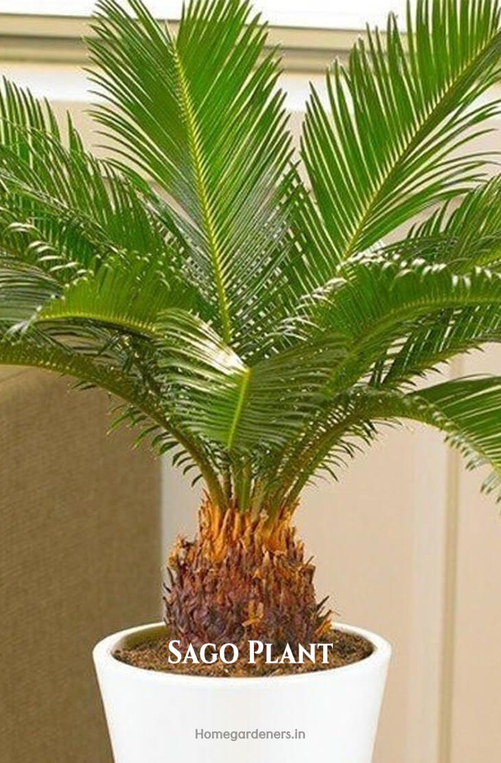 Easy way to Grow Heat Tolerance Sago Palms