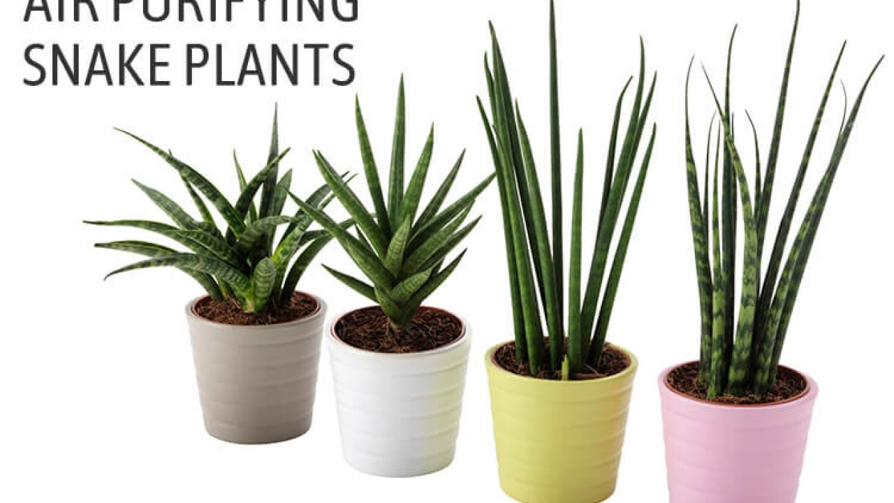 Sansevieria Trifasciata Growing How To Care For Snake Plant
