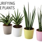 How to Care for Air-purifying Snake Plant in Pots