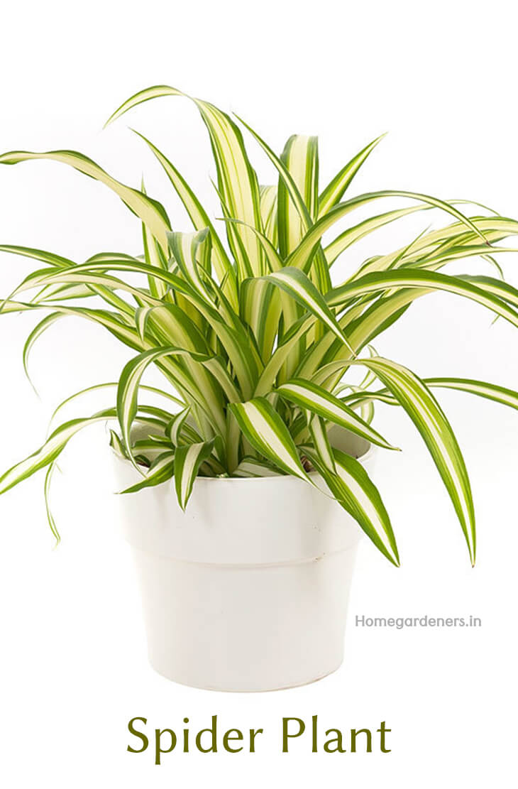 Spider Plant How To Grow And Care For Spider Plants Chlorophytum