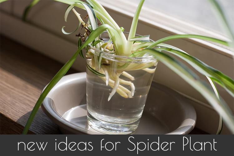 spider plant how to grow and care for spider plants chlorophytum. Black Bedroom Furniture Sets. Home Design Ideas