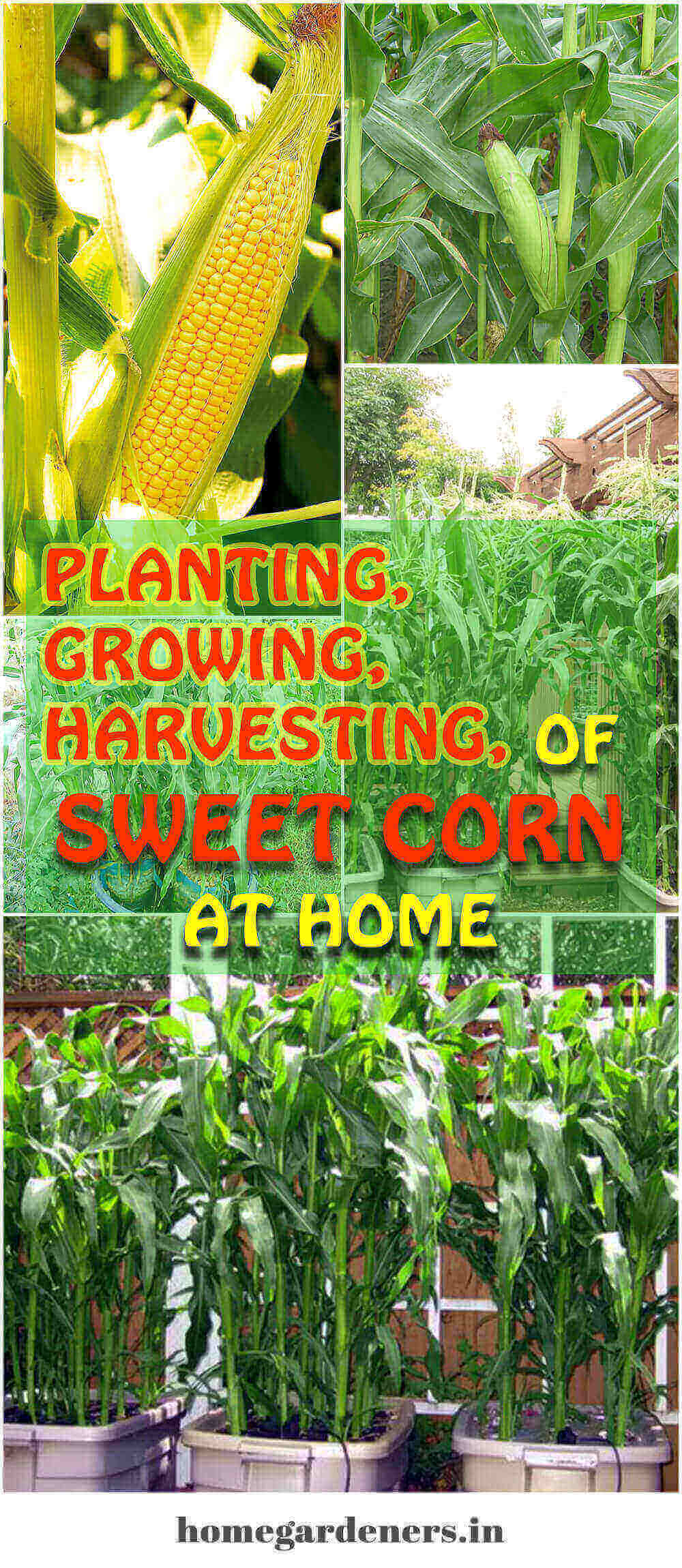 Planting, Growing and Harvesting of Sweet corn at home