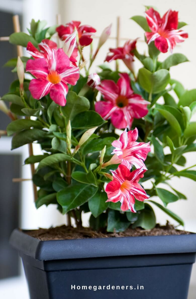 Rock trumpet plant - How to Care Mandevilla Vine plant in your Home and Garden
