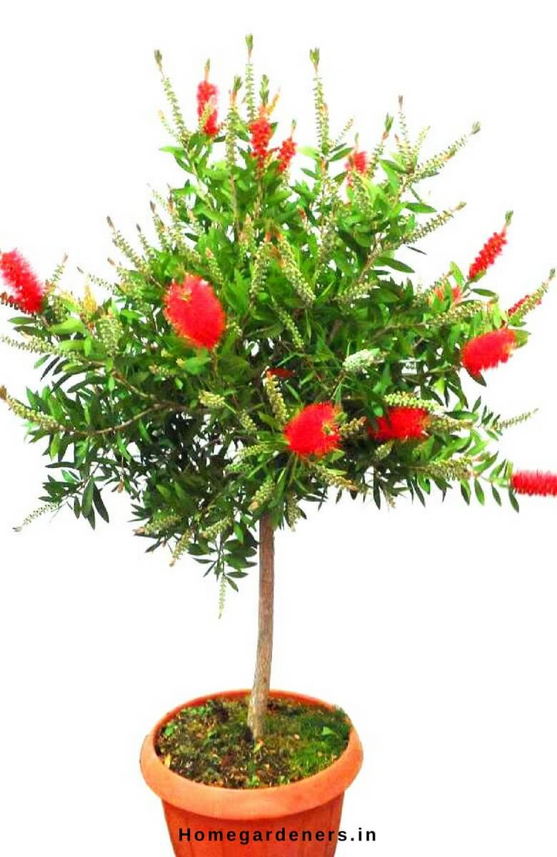 Callistemon tree Care - How Bottle Brush Tree Makes You a Better Lover