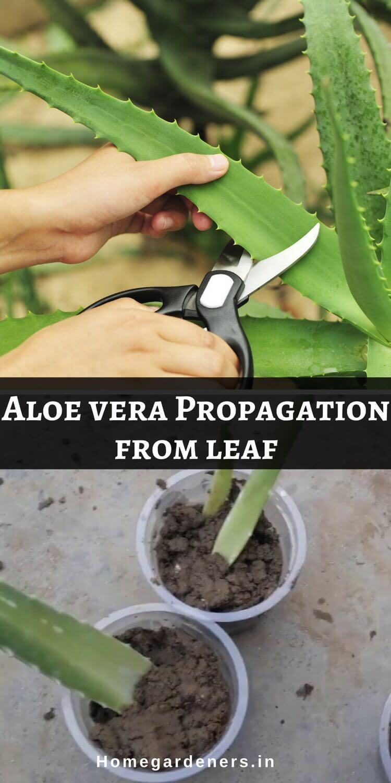 Aloe Vera Plant Care - Best ways to Care Aloe Vera at Home