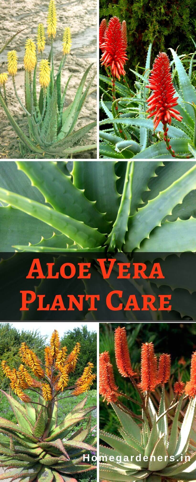 Aloe Vera Plant Care - Best ways to Care Aloe Vera at Home