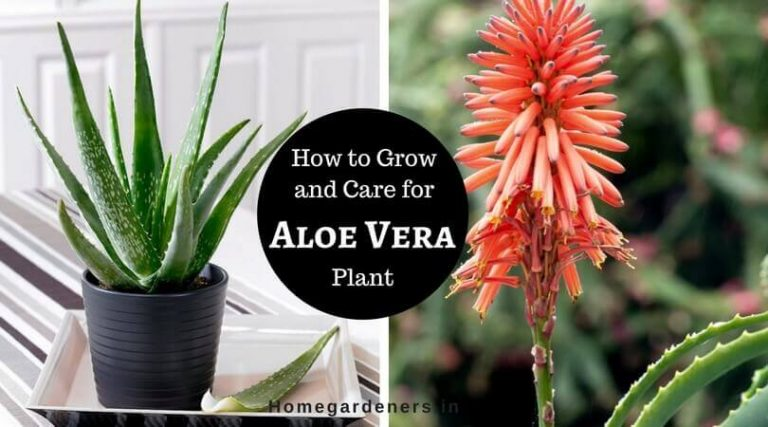 Aloe Vera Plant Care – Best ways to Care Aloe Vera at Home