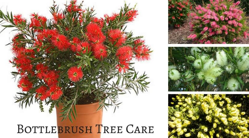 Callistemon Tree Care – How Bottle Brush Tree Makes You a Better Lover