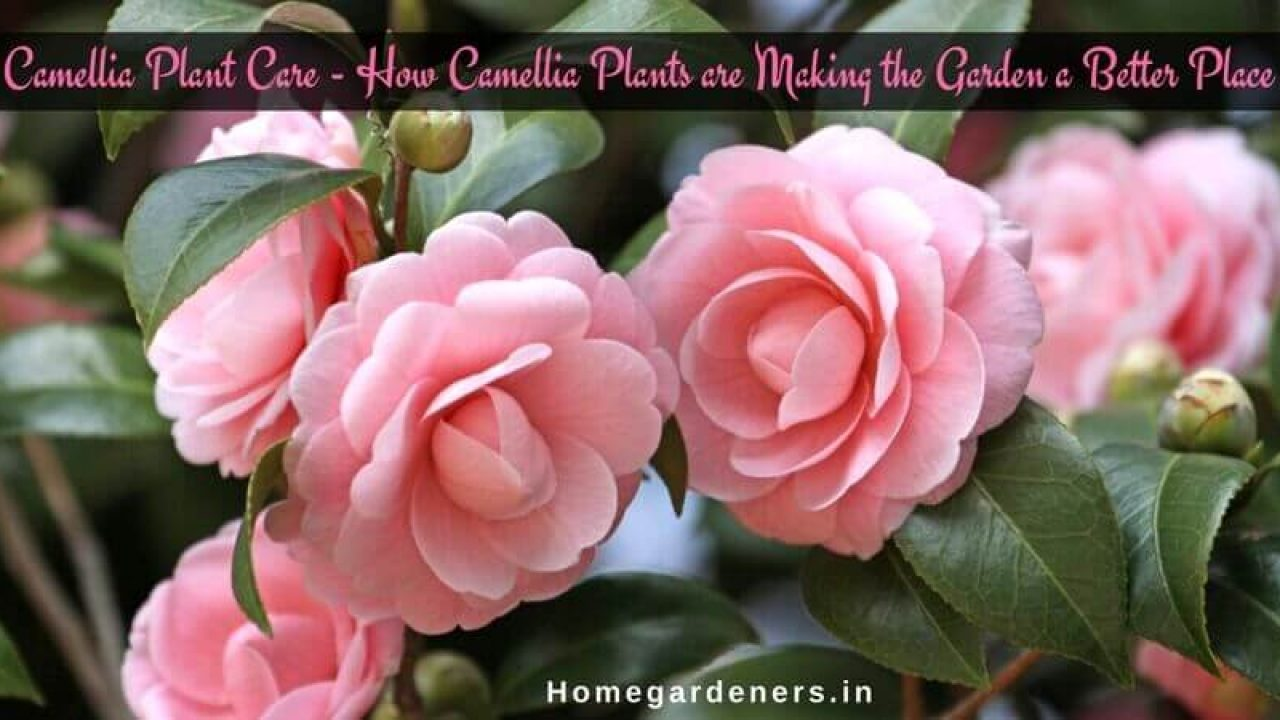 Camellia Plant Care - How Camellia Plants are Making the