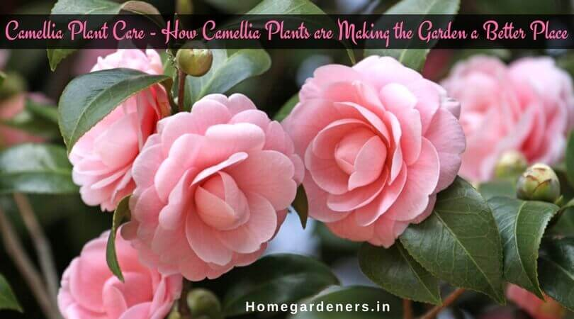 Camellia Plant Care – How Camellia Plants are Making the Garden a Better Place