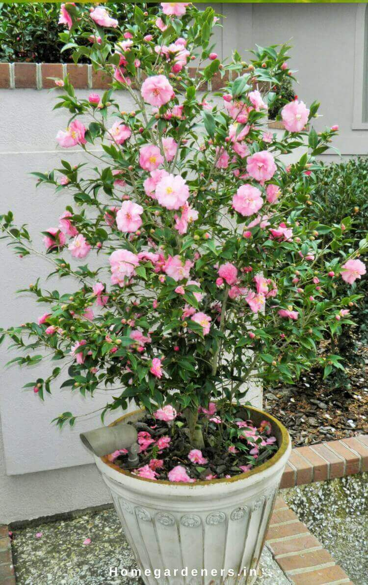 Camellia Plant Care - How Camellia Plants are Making the Garden a Better Place