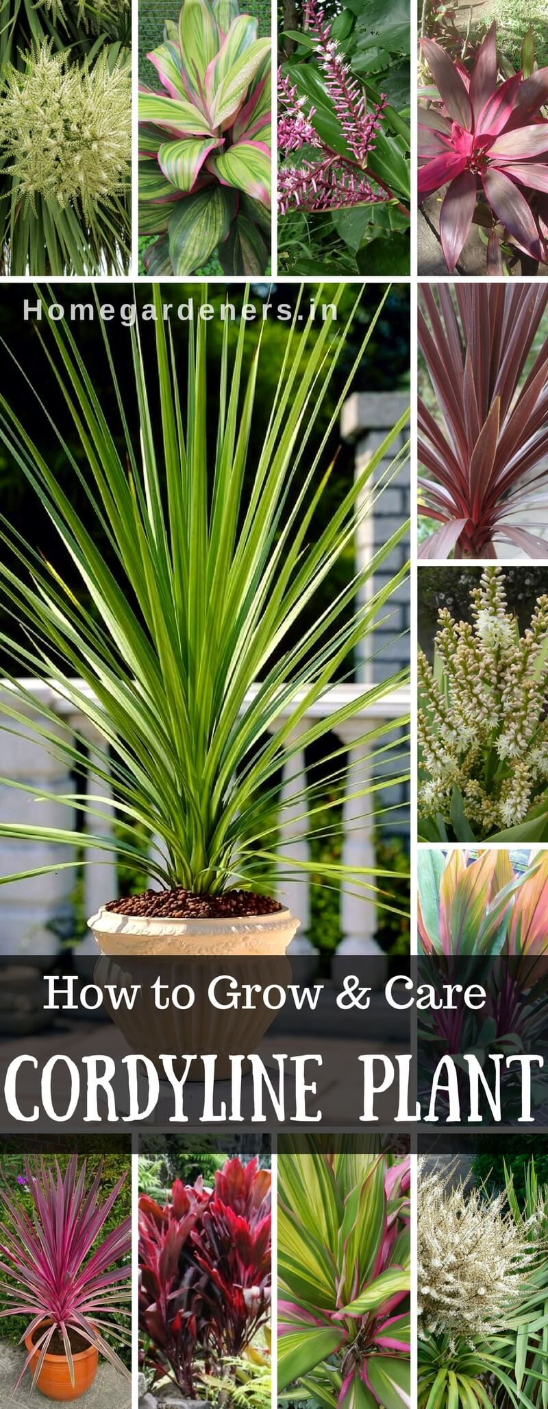 Cordyline - Growing and Caring for the Hawaiian Ti Plant