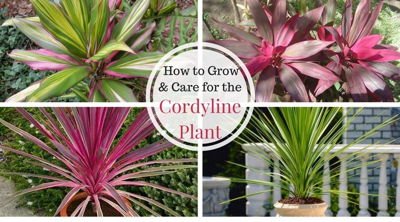 Cordyline – Growing and Caring for the Hawaiian Ti Plant