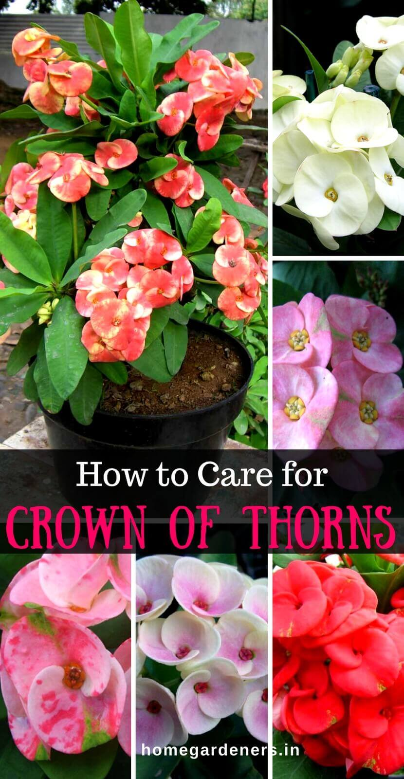 Euphorbia Milii Plant- How To Grow and Care For Crown of Thorns Plant