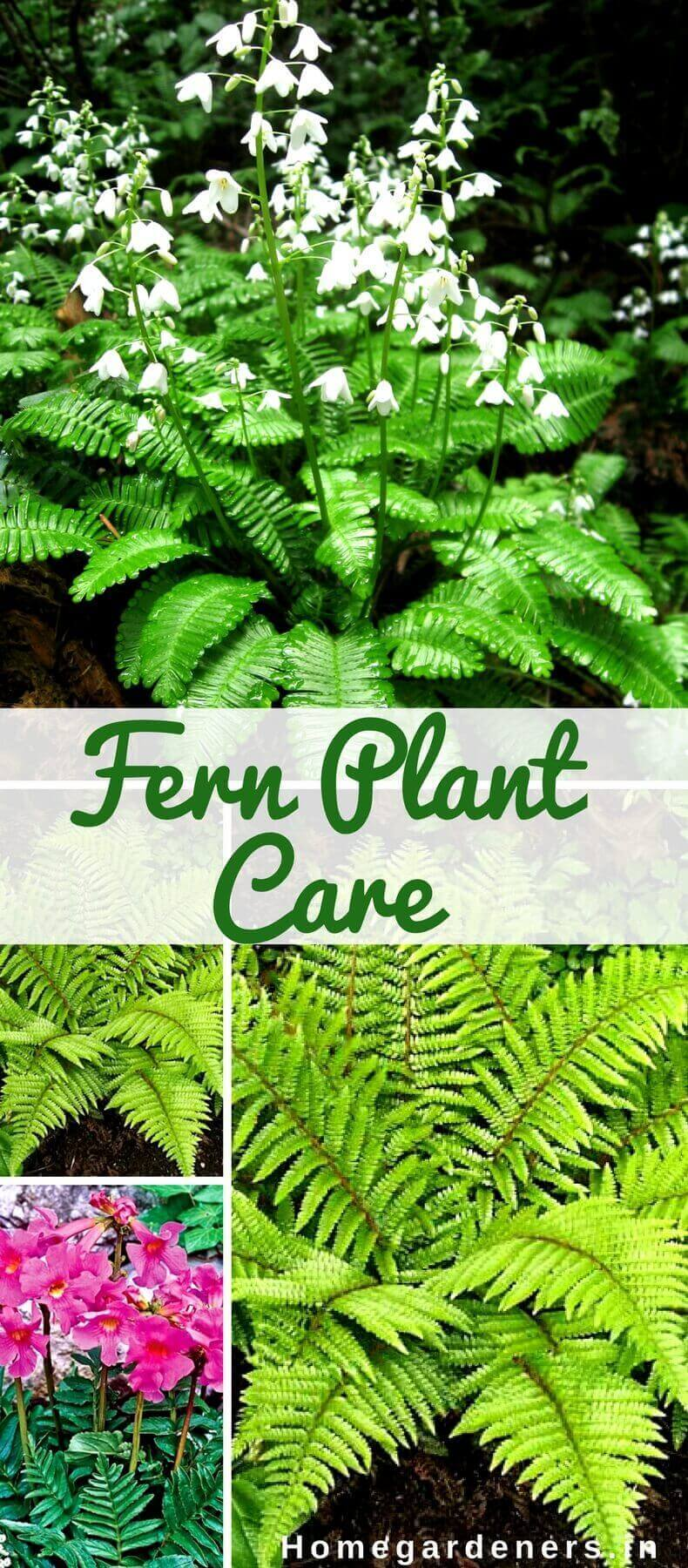 Fern Plant Care- How do you take Care of a Fern at Home and Garden?