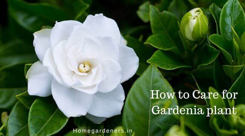 Gardenia Plant – How to Care for Gardenia plant at Home and Garden