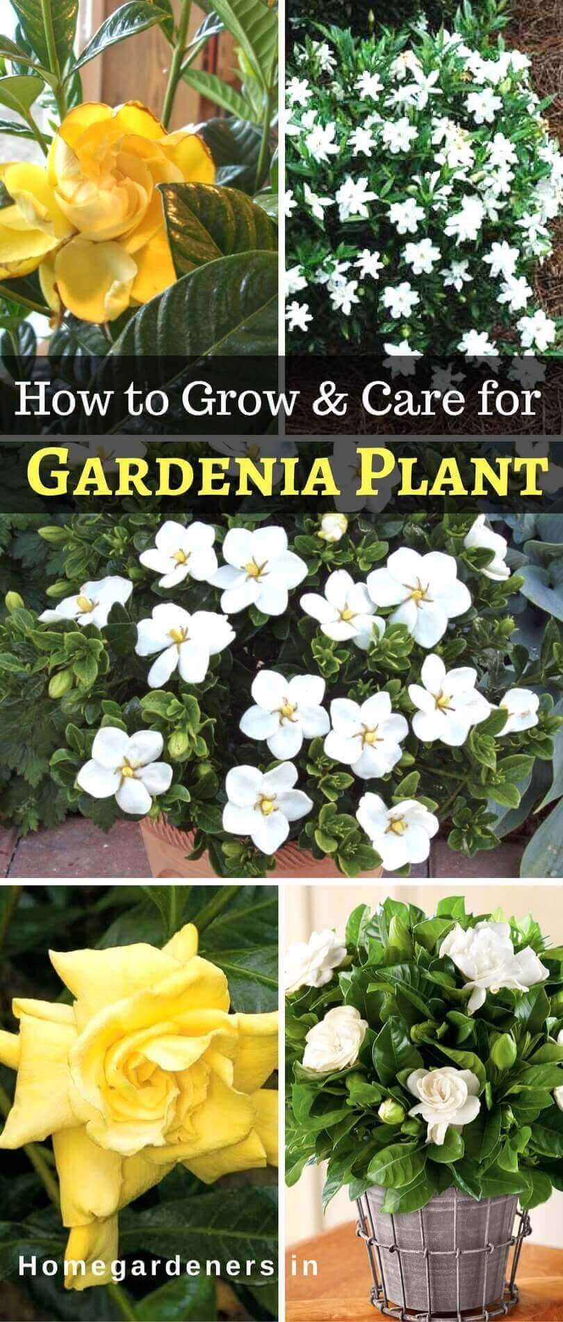 Gardenia Plant - How to Care for Gardenia plant at Home and Garden