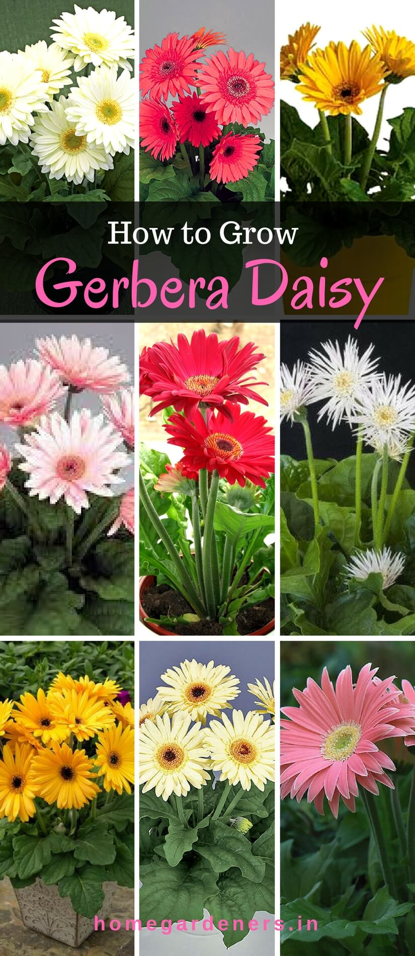 Gerbera daisy guide the only gerbera daisy resources you will ever gerbera daisy guide the only gerbera daisy resources you will ever need izmirmasajfo