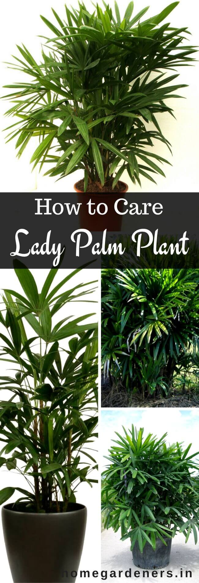 Rhapis Palm Care : How to Grow and Care for the Lady Palm Plant