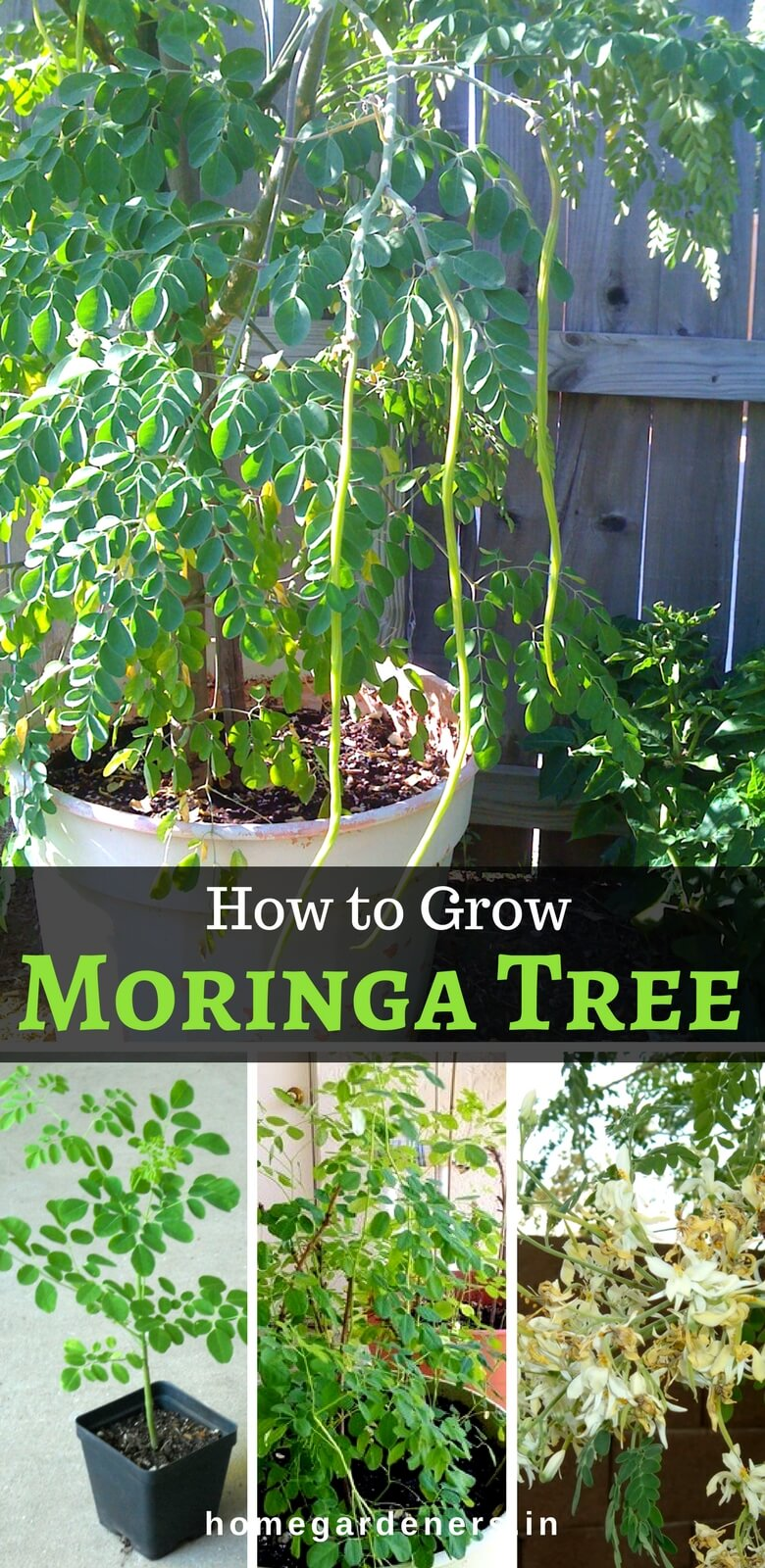 Moringa Tree - Growing, Caring & Health Benefits for the Drumstick tree