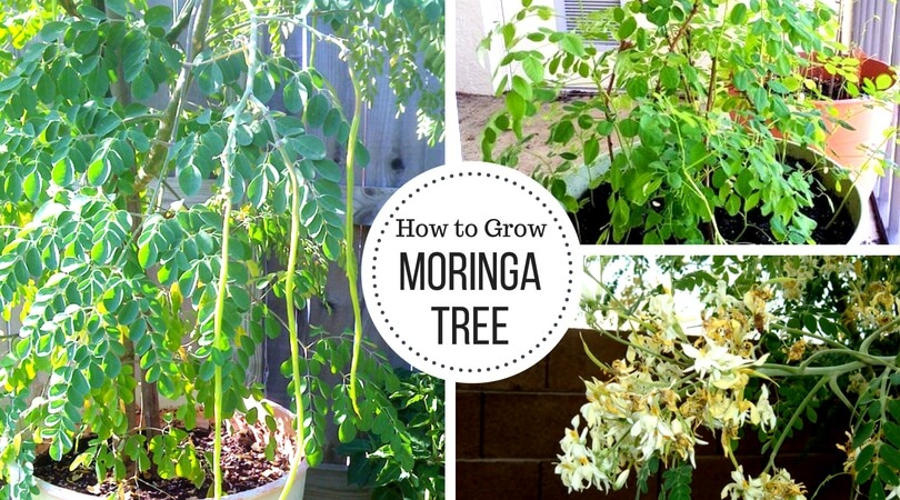 Moringa Tree – Growing and Caring for the Drumstick tree