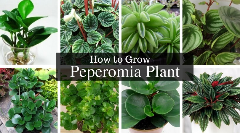Peperomia Plant – How Did Radiator Plants Become the Best? Find Out.