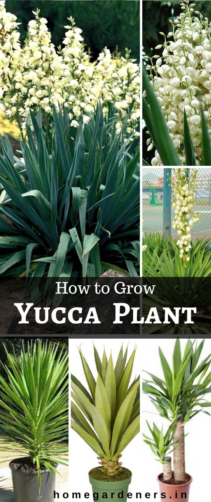 Yucca plants Caring: Why Do People Think Yucca Plant is a Good Idea?