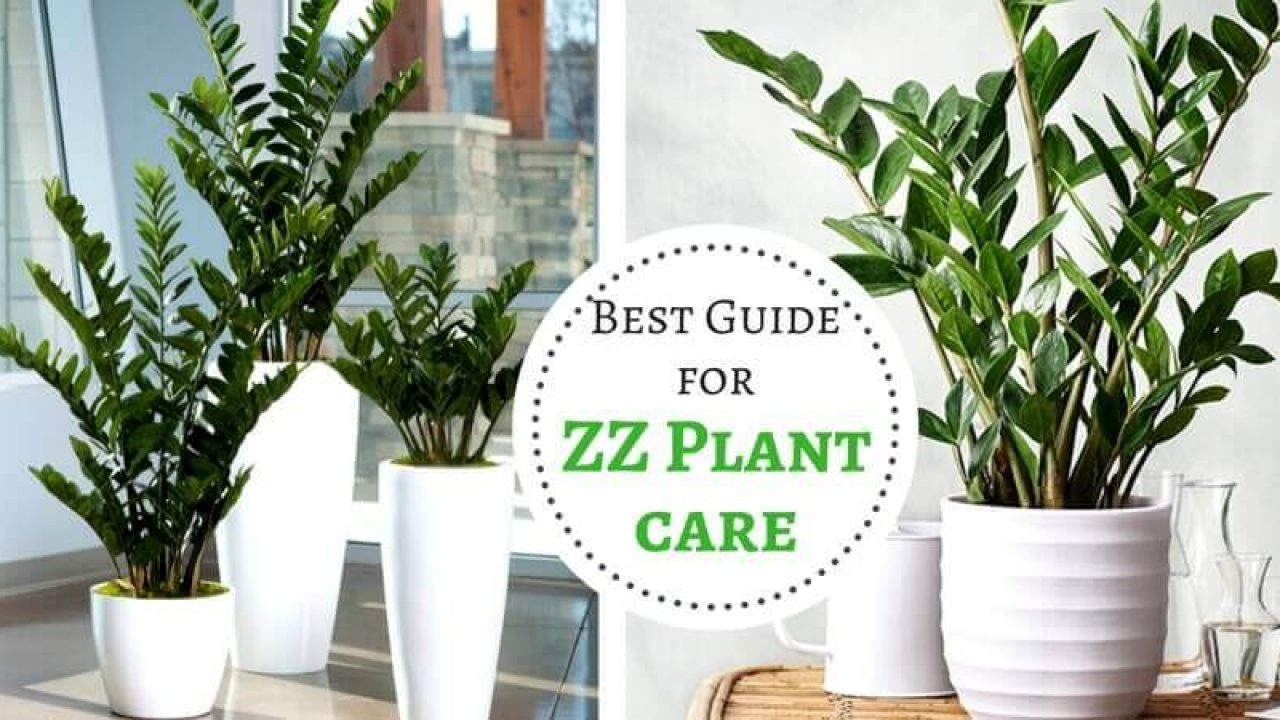 ZZ Plant care - Best Guide for Zanzibar Gem plant - Home ... on pomegranate plant, philodendron plant, fairy duster plant, indoor rubber tree plant, money tree plant, topiary plant, croton plant, pot plant, jade plant,