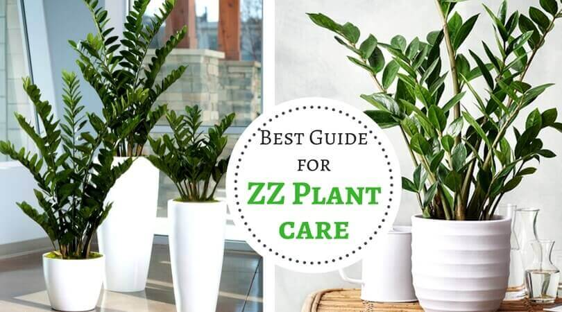 Zz Plant Care Best Guide For Zanzibar Gem Plant Home