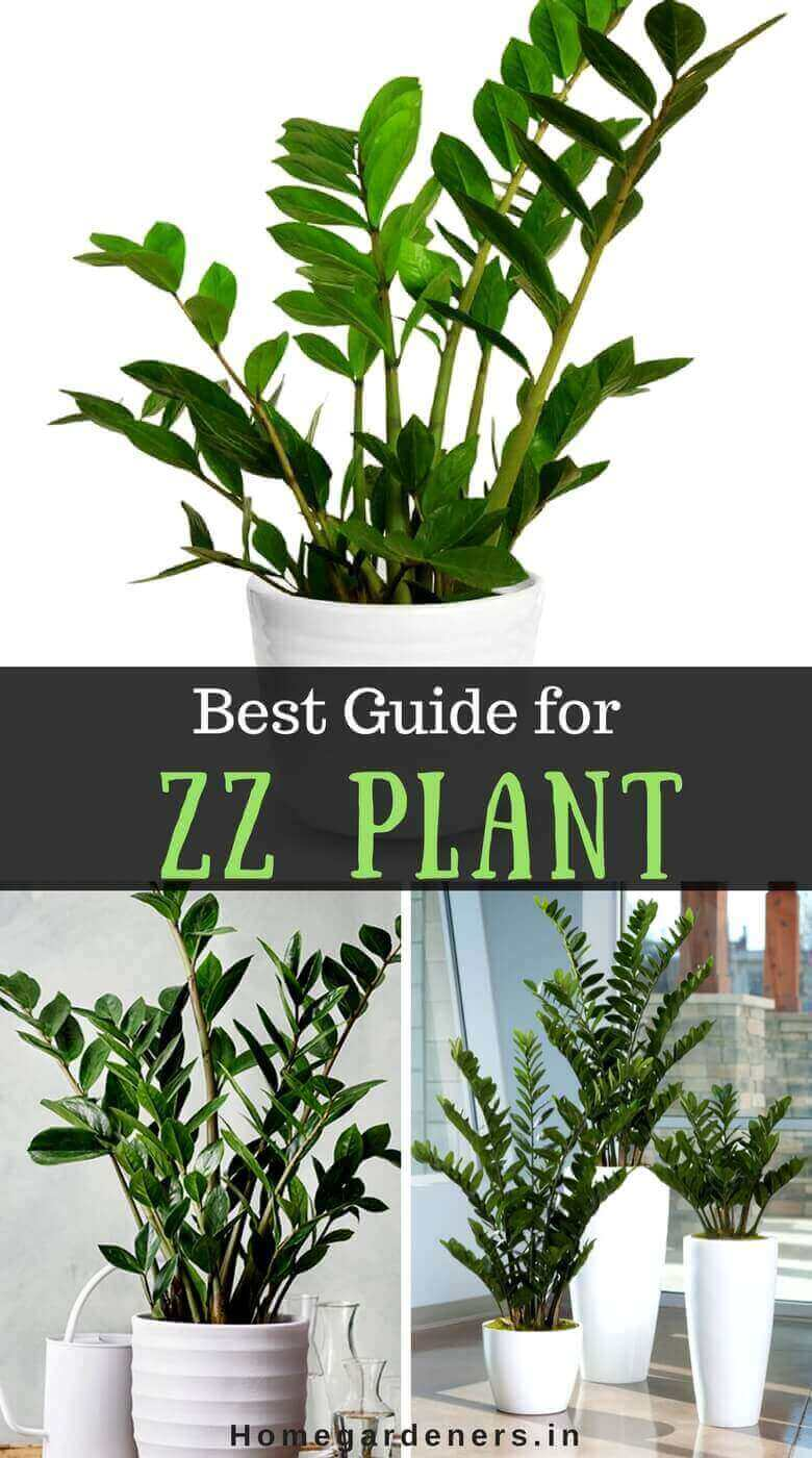 ZZ Plant care - Best Guide for Zanzibar Gem plant