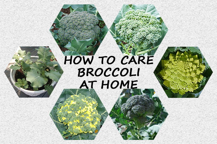 How to Harvest Broccoli Heads from your Garden