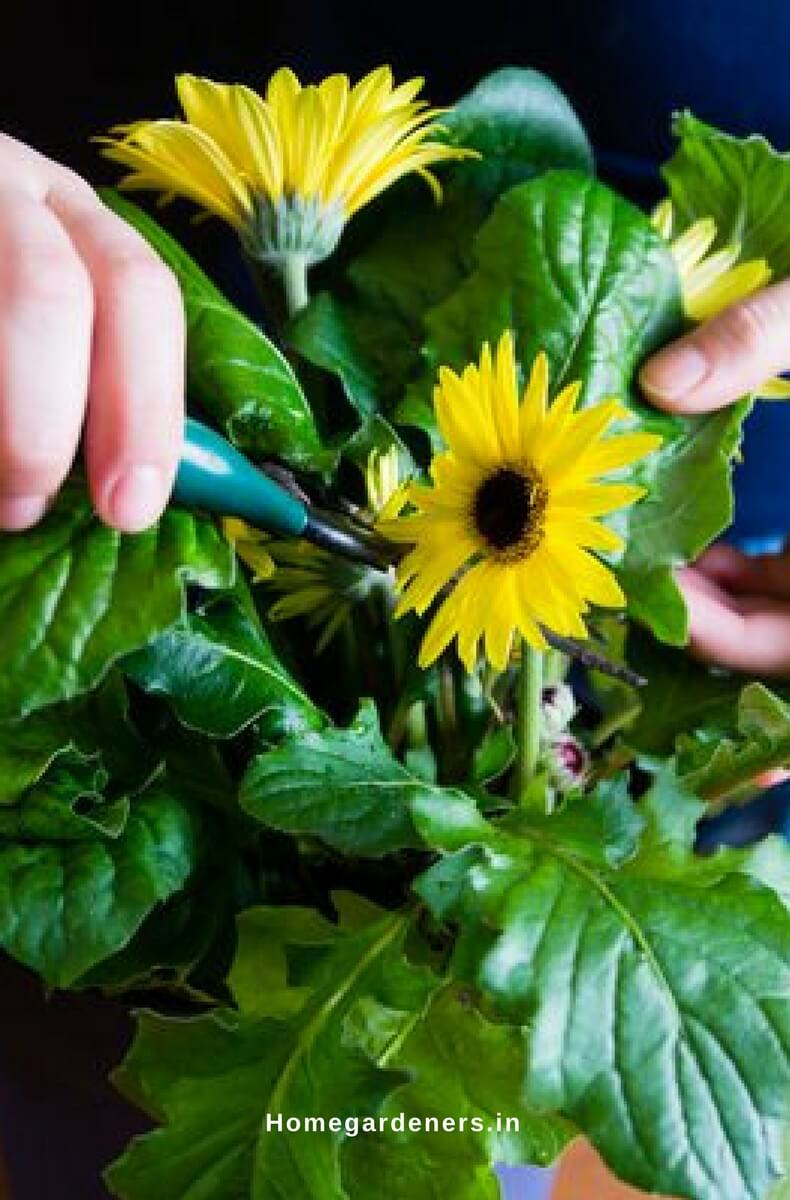 Gerbera Daisy Guide - The Only Gerbera Daisy Resources You Will Ever Need