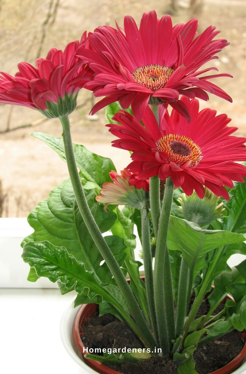 Gerbera Daisy Guide The Only Gerbera Daisy Resources You Will Ever
