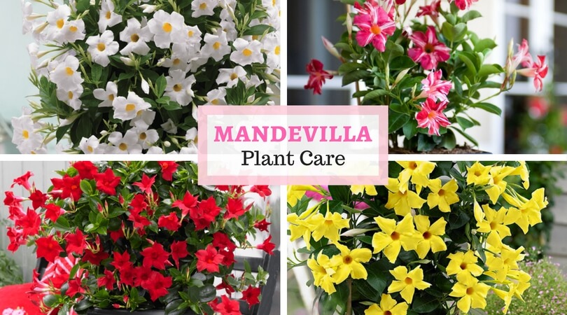Rocktrumpet care – How to grow and care for Mandevilla plant