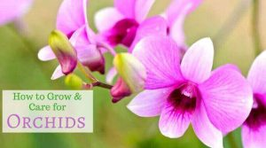 Growing Orchids - How to Care Orchid Plant Indoors and Outdoors