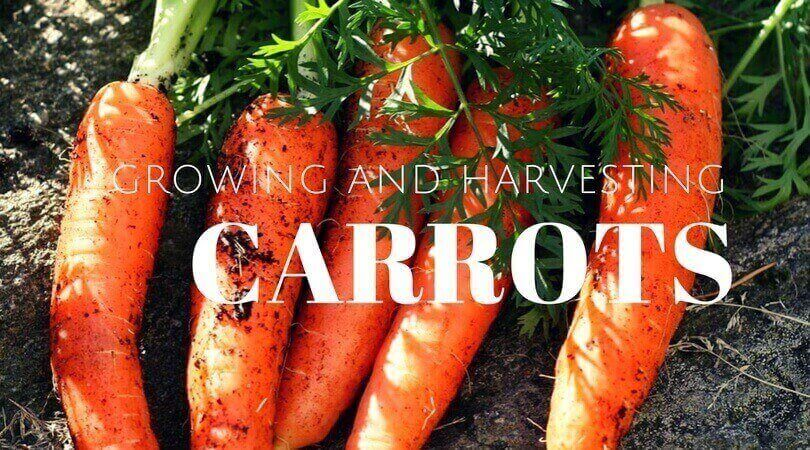 Carrots – How to Planting, Growing and Harvesting Carrots