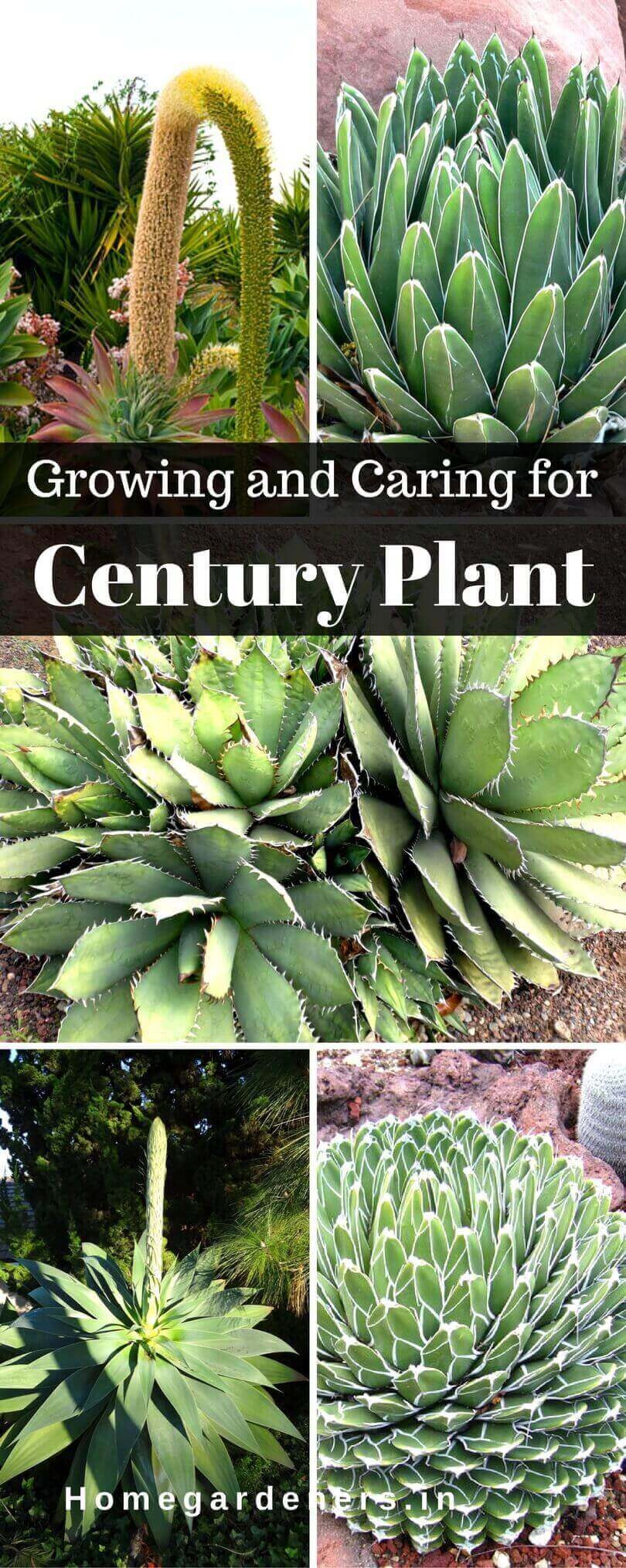 Agave Americana - Growing and Caring for Century Plant