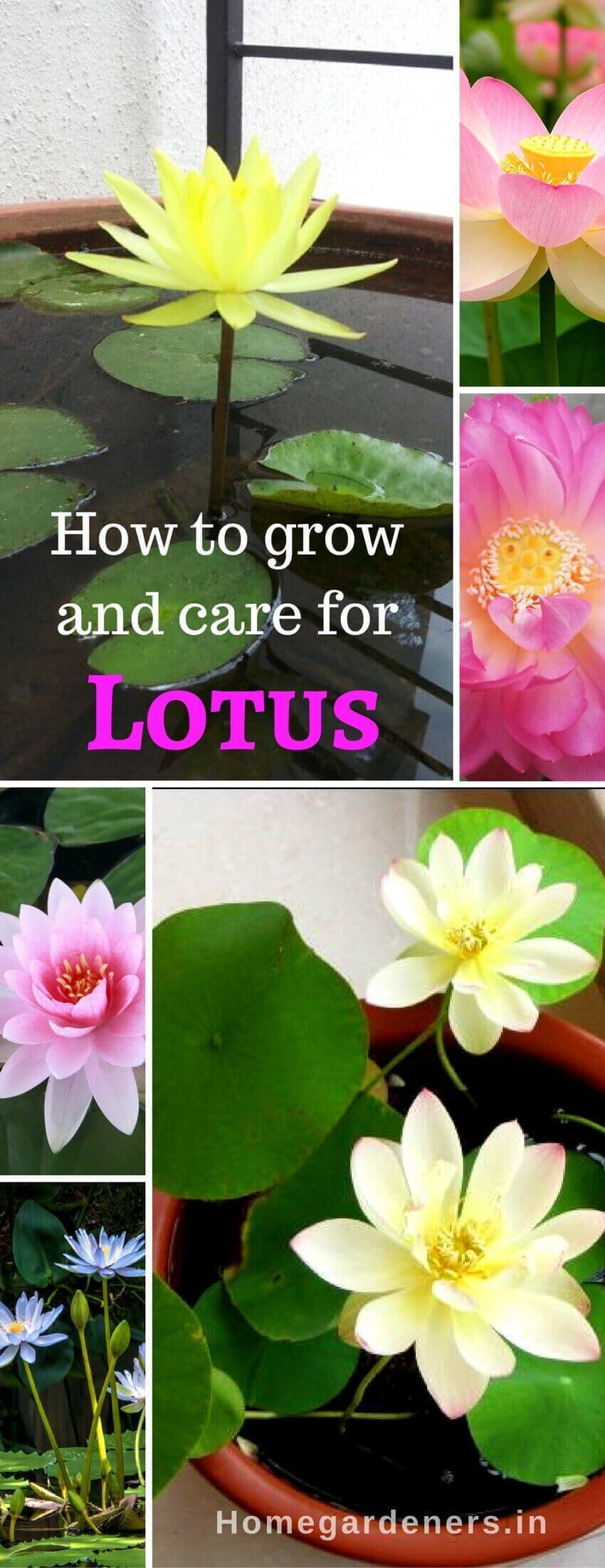 Sacred Lotus How To Grow And Care For Lotus Plants Home Gardeners