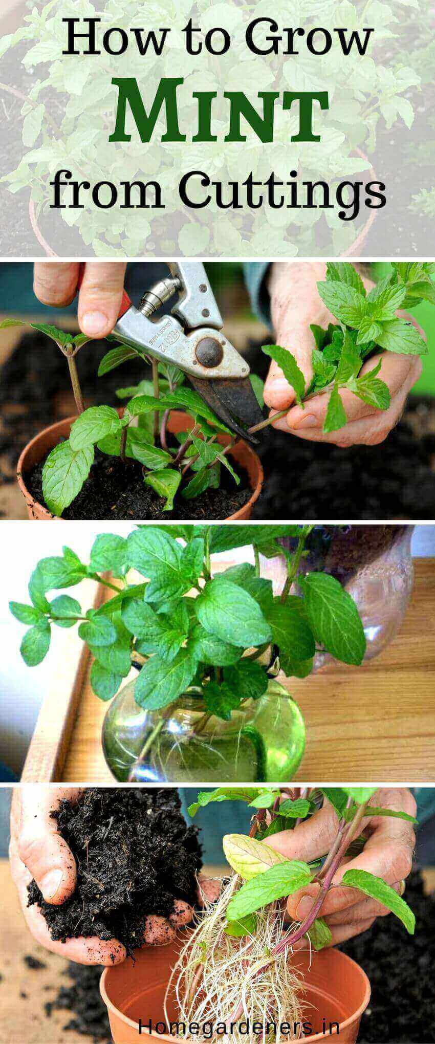 Mentha - How to Plant, Grow and Care for Mint Easily